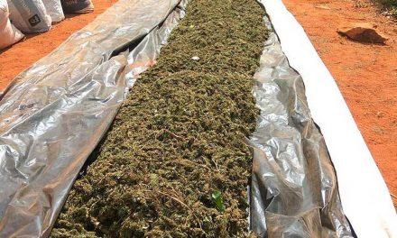 Polícia destrói 400 mil pés de maconha e apreende uma tonelada da droga no interior baiano