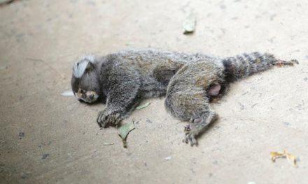 Guarda Municipal recolhe macacos mortos em Ondina e Castelo Branco