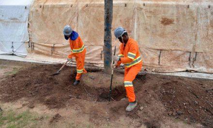 Consórcio do BRT dá início a processo de transplante de árvores