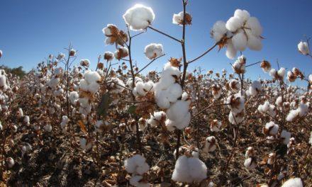 Bahia é certificada por 75% da produção de algodão sustentável