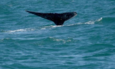 Observação de baleias é opção para atrair turistas na baixa estação